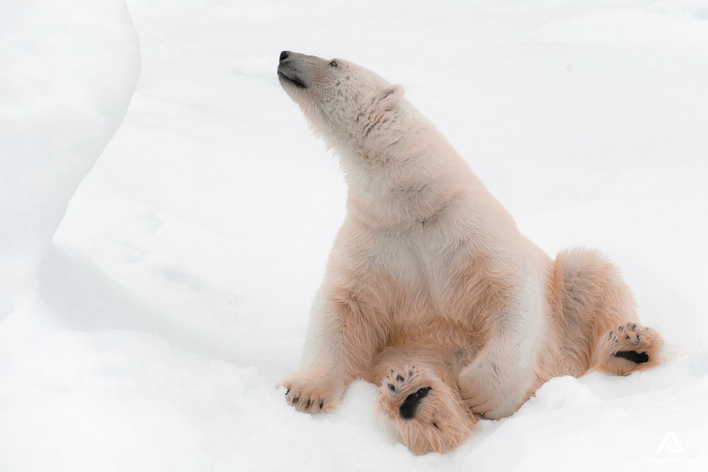 Polar bear posing